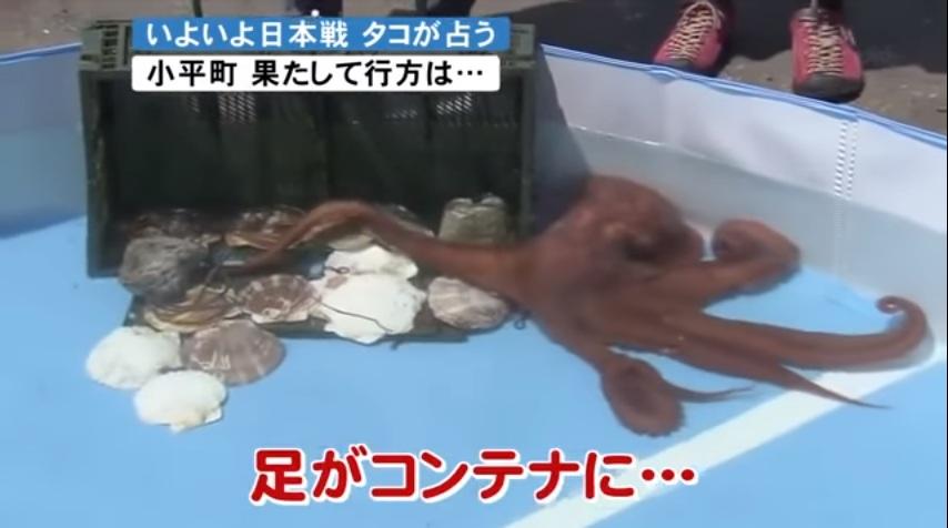 """""""ราบิโอะ"""" หมึกยักษ์ทายผลญี่ปุ่นสุดแม่น โดนจับทำอาหารเรียบร้อย"""
