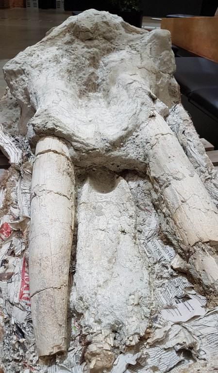 กะโหลกของช้างกอมโฟทีเรียมแห่งเทือกเขาพิรานีส (HO / Musee dHistoire Naturelle de Toulouse / AFP)