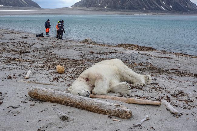 """""""หมีขั้วโลก"""" ถูกยิงตายโดยการ์ดเรือสำราญ อ้างเพราะถูกจู่โจมก่อน"""
