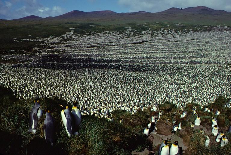 ภาพประชากรเพนกวินบนเกาะหมูที่บันทึกไว้เมื่อปี 1982 ทั้งนี้ข้อมูลล่าสุดพบว่าประชากรเพนกวินเหล่านี้ลดจำนวนลงถึง 90% (Henri WEIMERSKIRCH / CNRS / AFP)
