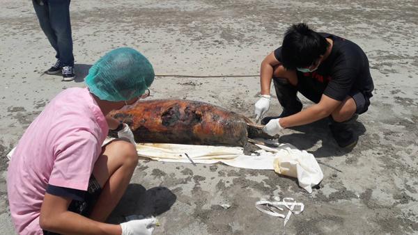 พบซากโลมาปากขวด เพศเมีย หนัก  100 กก.เกยหาดตะโก  จ.จันทบุรี
