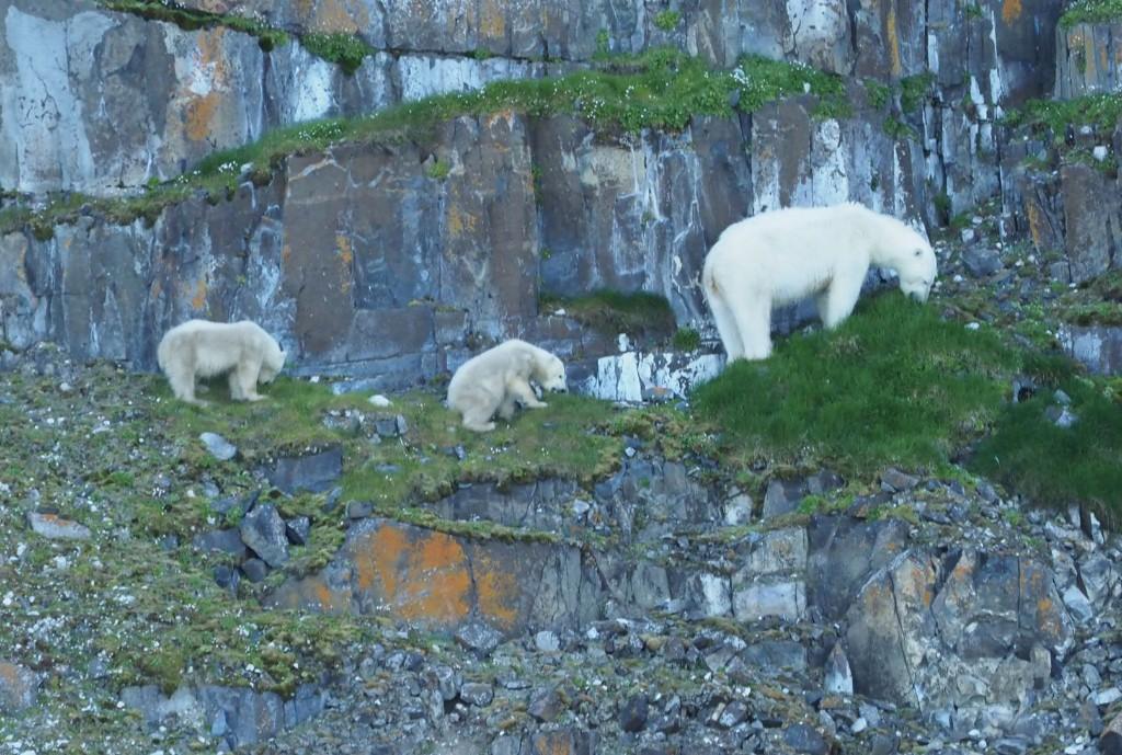 นักวิจัยไทยพบหมีขาวกินมอสและพืช