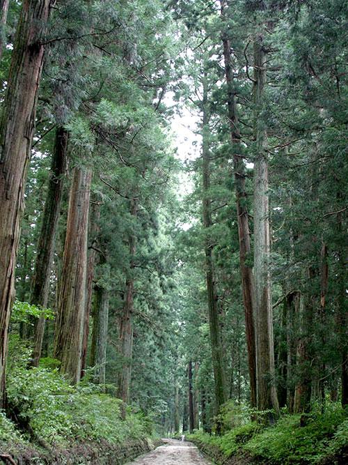 ต้นสนซีดาร์ ถนนอุโมงค์ต้นสนแห่งนิกโก ปลูกไว้ตั้งแต่เมื่อ 400 ปีก่อน