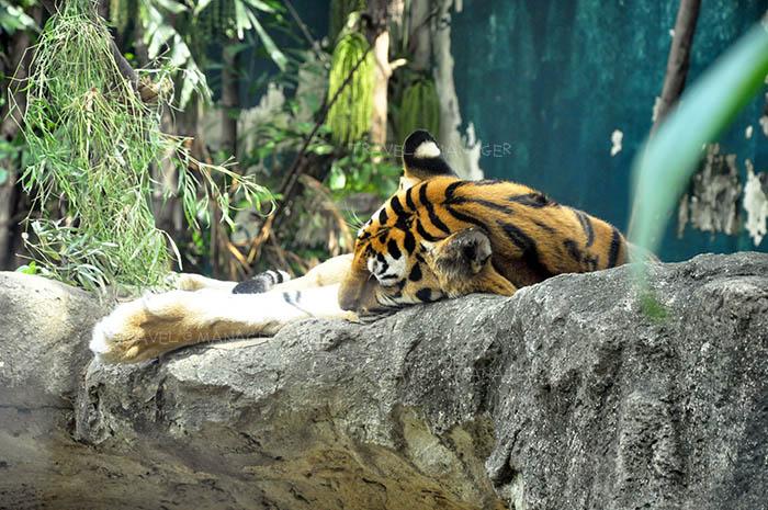 เสือโคร่งกำลังนอนสบายๆ บนโขดหิน