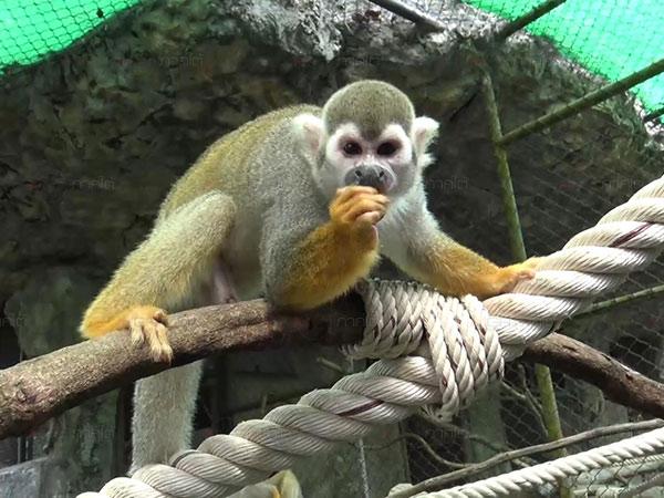"""เปิดตัว """"ลิงกระรอก"""" หน้ากากการ์ตูนสายพันธุ์แอฟริกา 6 ตัว สมาชิกใหม่สวนสัตว์สงขลา"""