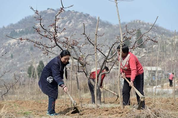 นาง ซูผิง (ซ้าย) และเพื่อบ้าน ช่วยกันลงต้นกล้าที่เชิงเขาจิ่วซัน (แฟ้มภาพ ปี2017--ซินหวา)
