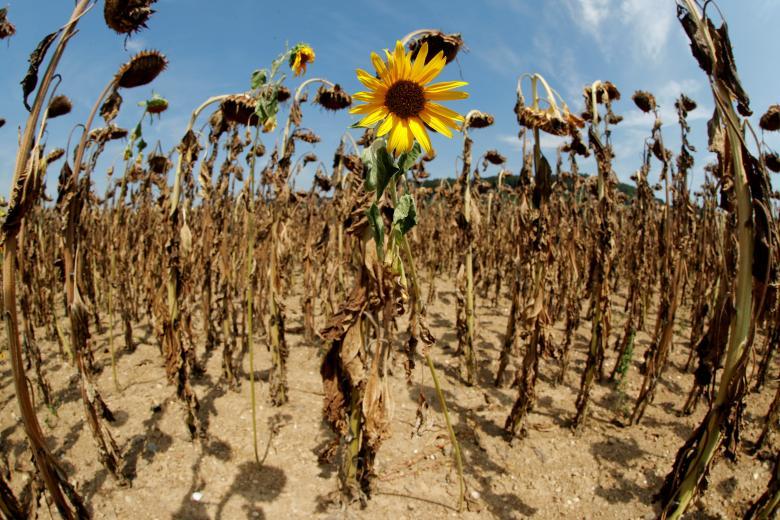 ดอกทานตะวันพากันเหี่ยวแห้งตาย ในช่วงที่คลื่นความร้อนเข้าเล่นงานประเทศแถบยุโรป
