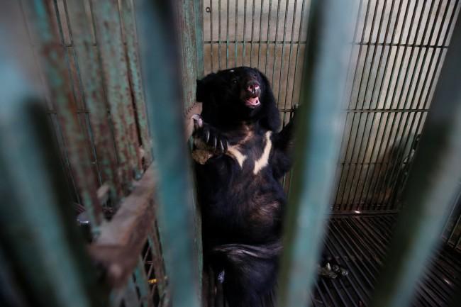 นักอนุรักษ์เร่งช่วยเหลือหมีในเวียดนามหลังคนเลี้ยงปล่อยอดตายคากรงเหตุน้ำดีราคาตก
