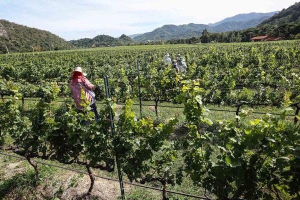 คนทำงานปลูกดูแลต้นองุ่น ต้องได้คนที่ละเอียดอ่อน มีสุขภาพดี มีความใส่ใจ เพราะต้นองุ่นที่ใช้ทำไวน์ ไม่ใช่พืชพื้นเมือง จึงมีความอ่อนไหวจากดินฟ้าอากาศ