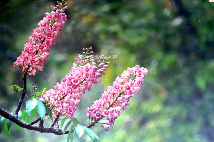 ดอกชมพูภูคา แห่งดอยภูคา ที่จะบานในช่วง ก.พ.– มี.ค. ของทุกปี (ภาพ : อุทยานฯดอยภูคา)