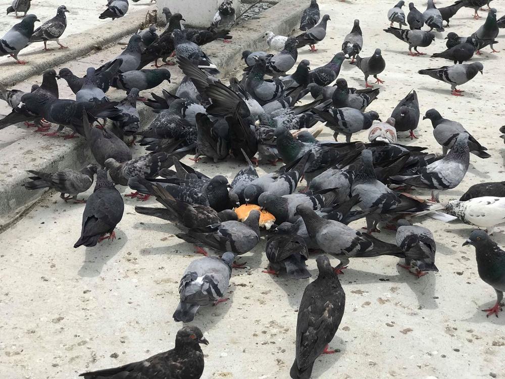 """กทม. งัดบทลงโทษ """"ห้ามให้อาหารนกพิราบ"""" ทั้งจำ-ปรับ เตือนเสี่ยงโรคปอดอักเสบ"""