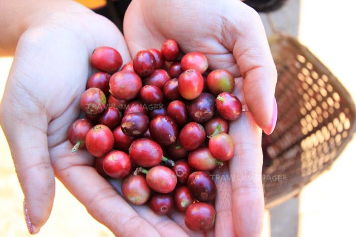 ผลผลิตกาแฟจากต้น