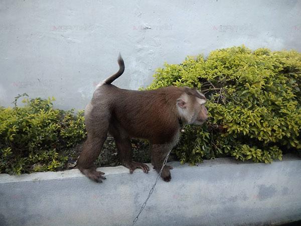 ชาวบ้าน-กู้ภัยสว่างเบตงธรรมสถาน เร่งช่วยกันจับลิงกังหลุดเดินเพ่นพ่านกลางถนน