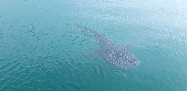 นักท่องเที่ยวต่างชาติตื่นเต้น !!ฉลามวาฬโผล่อวดโฉม 3 ตัวที่เกาะทะลุ