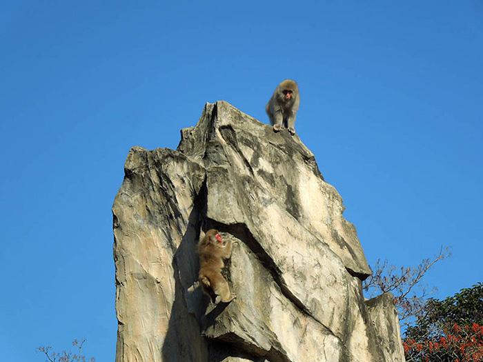 ลิงกังญี่ปุ่น (ภาพจาก : JNTO โดย : PhotoAC)