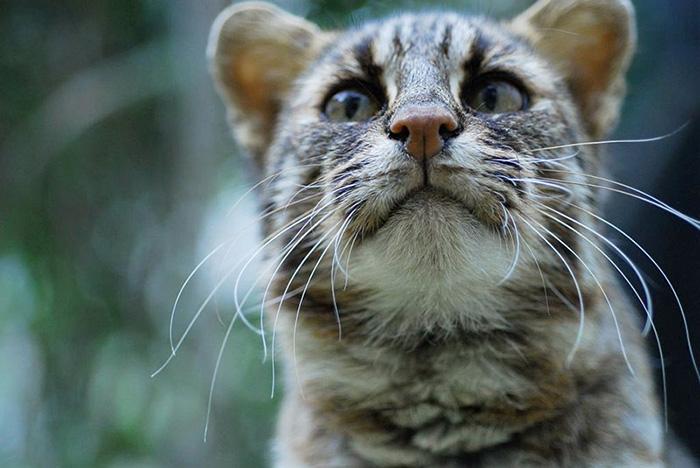 แมวดาวทสึชิมะ (ภาพจาก : JNTO โดย :  Tsushima Wildlife Conservation Center)