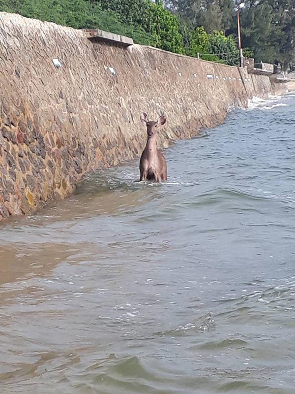 สุนัขจรจัดไล่กัด กวางป่า!! หนีตายลงทะเล ชาวบ้าน- ชาวประมง ช่วยทัน