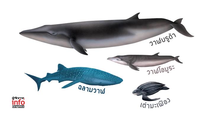 """กฤษฎีกาไม่เพิ่มสัตว์ป่าสงวน """"วาฬบรูด้า-วาฬโอมูระ-ปลาฉลามวาฬ-เต่ามะเฟือง"""" อ้างกรมประมงไม่ยอม"""