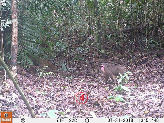 ลิงเสน? ลิงหน้าแดงตูดแดง ตามที่พูดๆกัน แต่ไม่ว่าจะเป็นลิงอะไร จำนวนในป่าธรรมชาติลดลงเรื่อยๆ เพราะถูกล่า กินเนื้อ กระดูกทำยา.