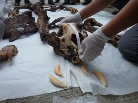 ตะลึง!จนท.วัดขนาดแล้ว พบซากเสือโคร่งเหยื่อแก๊งค้าสัตว์ป่าข้ามชาติ หนักกว่า 200 กก.ค่ากว่า 2 ล้าน