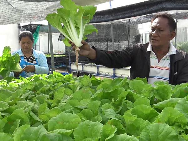 สองสามีภรรยาเก็บผักไฮโดรโปนิกส์ขายช่วงกินเจโลละ 60 บาท คนสั่งเพียบ