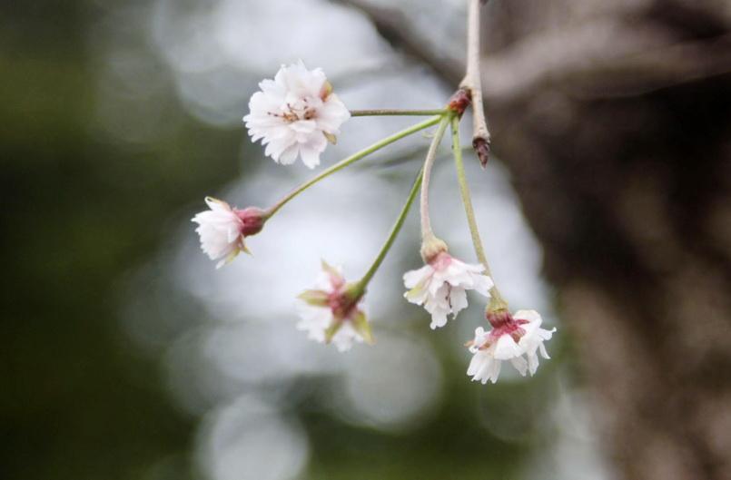 สุดอึ้ง! ไต้ฝุ่นซัดถล่มทำ 'ดอกซากุระ' ญี่ปุ่นเบ่งบานในฤดูใบไม้ร่วง