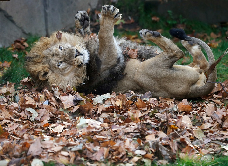 อะไรที่เป็นเอเชียมักขี้เล่นเสมอ! บานู(Bhanu) สิงโตเอเชียขี้เล่นกำลังเล่นกลิ้งตัวบนกองใบไม้ซึ่งถูกรมควันหอมของคาร์ดามอน (Cardamom) ซินนามอน และกานพลู ภายในกรงของตัวเองที่สวนสัตว์กรุงลอนดอน (London Zoo) อังกฤษ ภาพประจำวันพฤหัสบดี(18) รอยเตอร์