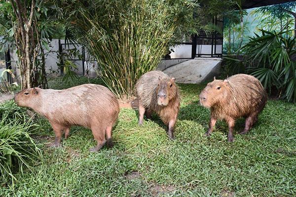 ถึงบ้านใหม่แล้ว!! หนูยักษ์คาปิบาร่า สัตว์ชุดแรกจากเขาดิน ถึงสวนสัตว์เปิดเขาเขียว