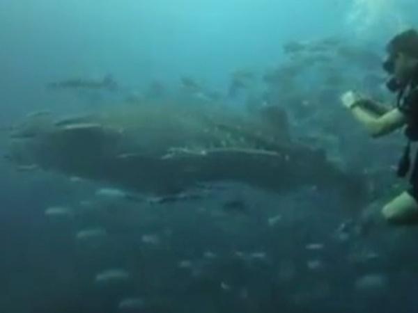 ฉลามวาฬอวดโฉมเกาะหินใบ ก่อนสิ้นฤดูการท่องเที่ยวฝั่งอ่าวไทย