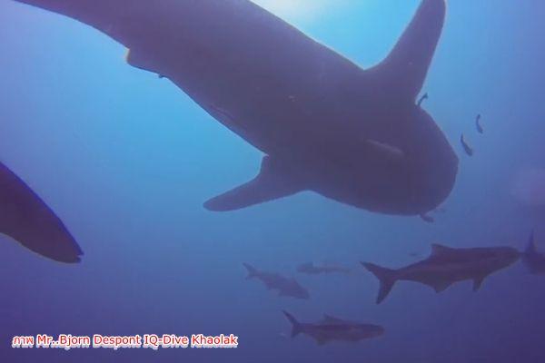 นักดำน้ำเฮ.! .ฉลามวาฬ ว่ายน้ำโชว์ตัว จุดดำน้ำซากเรือบุญสูง หน้าหาดเขาหลัก
