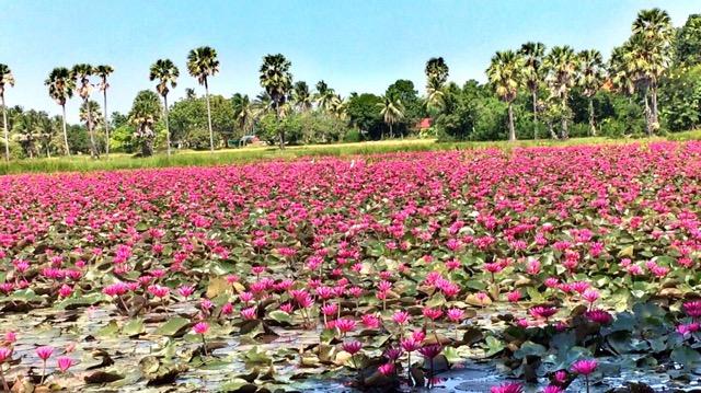 สุดยอดความงาม! อันซีนเพชรบุรีดอกบัวแดงบานสะพรั่งกว่า 10 ไร่ รอนักท่องเที่ยวมาชื่นชม