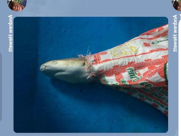 อนาถ ! พบฉลามหูดำตายอยู่ในกระสอบเร่งสอบถูกลอบจับ หรือเข้าไปติดเอง