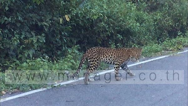 หัวหน้าอุทยานฯ แก่งกระจานเผยพบเสือดาวเดินริมถนนบ้านกร่างยืนยันความสมบูรณ์ของผืนป่า