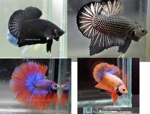 เสนอปลากัดเป็นสัตว์น้ำประจำชาติจ่อชงครม.เห็นชอบ