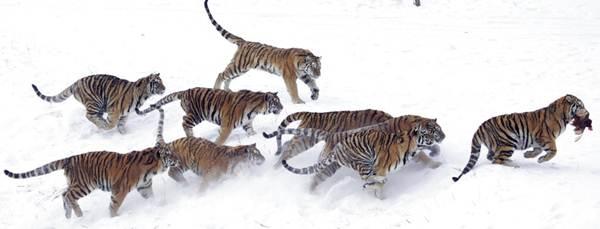 เสือไซบีเรีย ซึ่งถูกขึ้นทะเบียนเป็นสัตว์ใกลู้สูญพันธุ์ กำลังวิ่งไปเขมือบไก่ที่กลุ่มนักท่องเที่ยวโยนให้ในสวนเสือที่เมืองฮาร์บิน มณฑลเฮยหลงเจียง (แฟ้มภาพ เอพี)