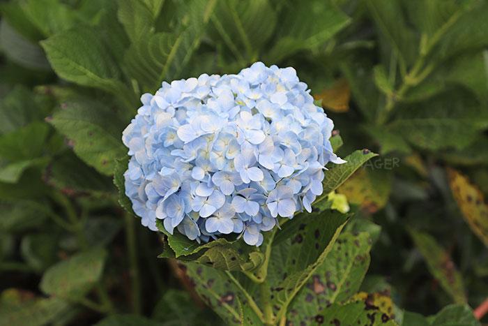ดอกไฮเดรนเยียสีฟ้าสดใส