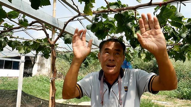 เกษตรกรราชบุรีรวมกลุ่มปลูกองุ่นตามรอยศาสตร์พระราชา สร้างรายได้จุนเจือครอบครัว
