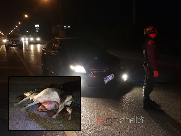 ชนซ้ำซ้อน! รถชนวัวตัวเดียว 3 คันรวด บนถนนสนามบินหาดใหญ่ พบวัวตาย-รถพังยับ