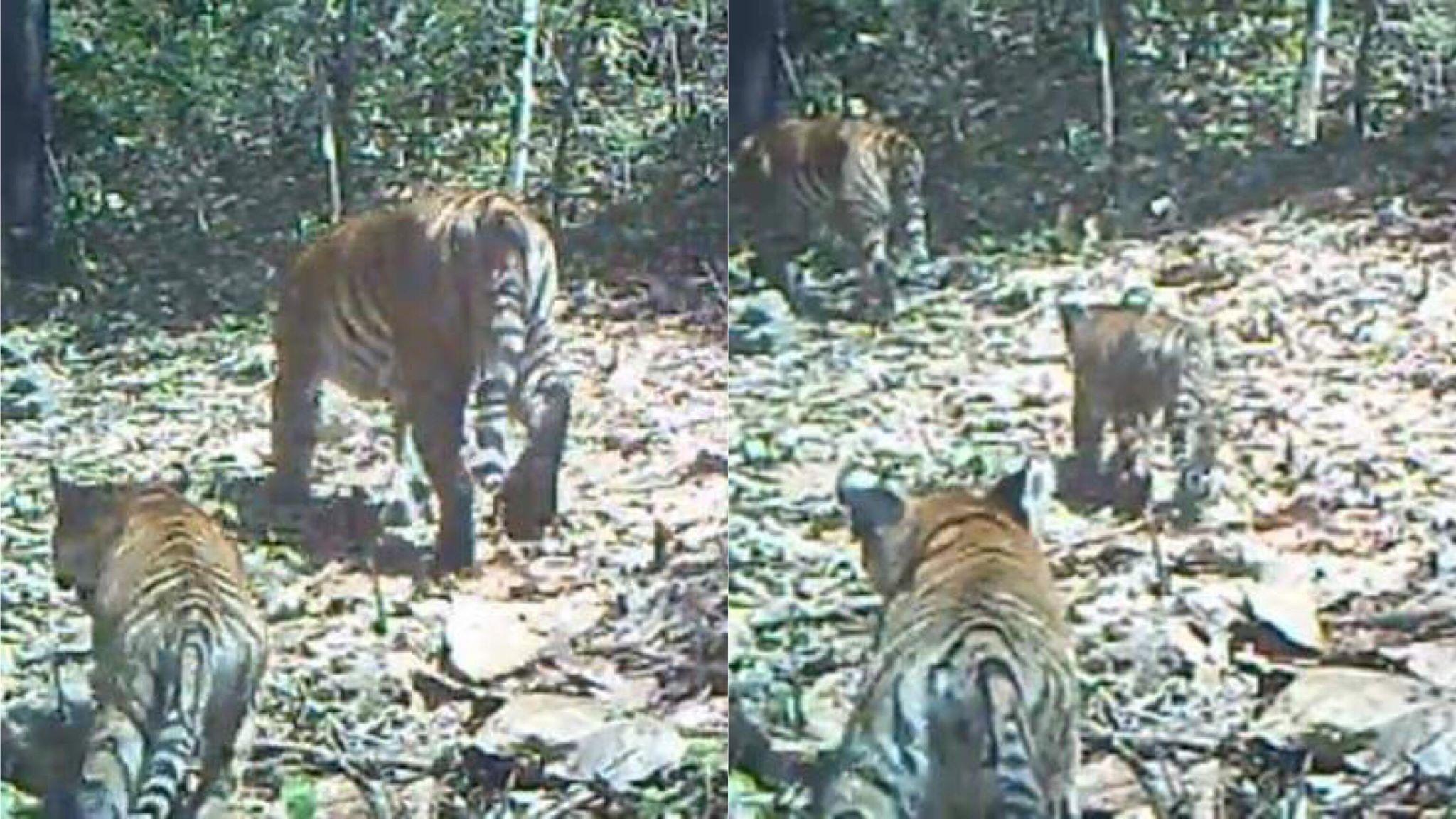 อุทยานฯ ปล่อยภาพแม่เสือโคร่งเดินนำหน้าลูกน้อย หวังปลุกจิตสำนึกการอนุรักษ์