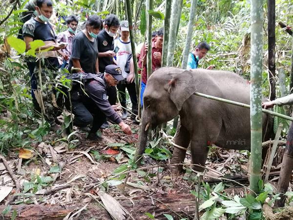 """พบลูกช้างป่าที่สงขลา หมอช้างระบุอาจเป็น """"ช้างแคระ"""" ที่หายไปจากพื้นที่กว่า 20 ปี"""