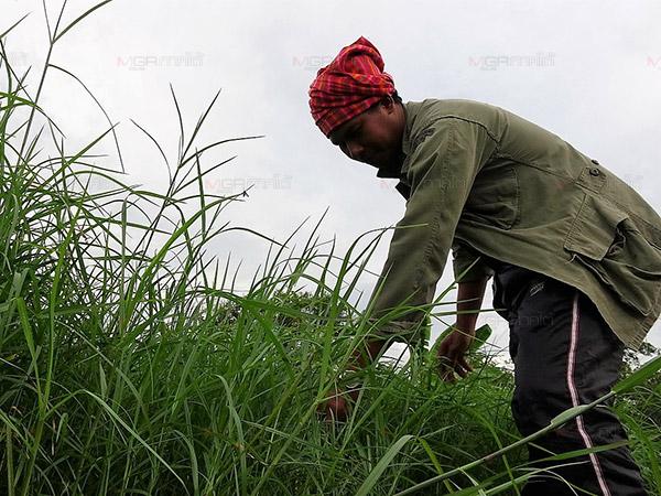 """หนุ่มสตูลทิ้งสวนยาง """"ปลูกหญ้าหวายข้อ"""" นำขายสร้างรายได้ครึ่งแสนต่อเดือน"""