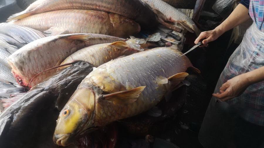"""ฮือฮา!ชาวประมงน้ำโขงจับ """"ยี่สกไทย""""ได้ยกฝูง 14 ตัว เผยเป็นปลาหายากใกล้สูญพันธุ์"""