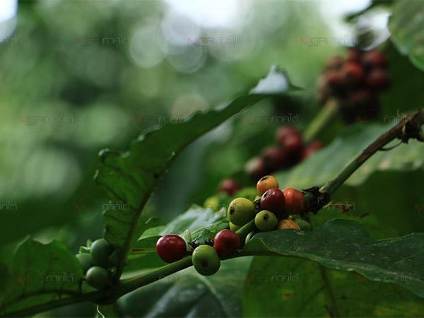 """เกษตรกรยะลาสนใจการปลูก """"กาแฟ"""" เป็นพืชทางเลือก หลังมีการสนับสนุนจากภาครัฐ"""