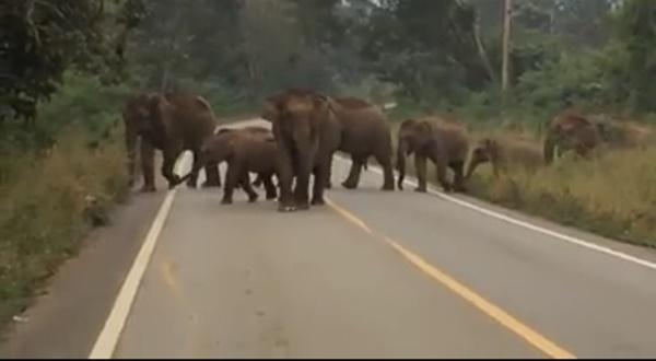 เตือนชาวบ้านเพิ่มความระมัดระวังช้างป่าทองผาภูมิ  หลังพบ จ่าฝูงกำลังอยู่ในช่วงตกมัน