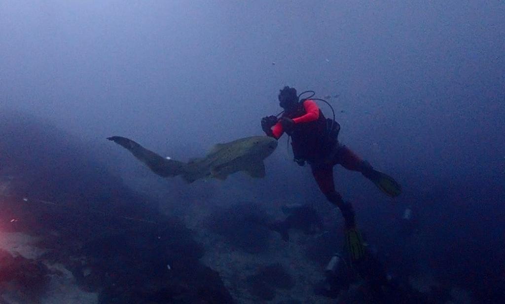 """""""ฉลามเสือดาว"""" สัตว์ทะเลหายาก กลับมาอาศัยหมู่เกาะสิมิลัน เชื่อมั่นเกิดจากการบริหารจัดการที่ดีของภาครัฐ"""