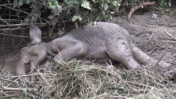 กรมอุทยานฯ เข้าช่วยลูกช้างป่า หลังโดนลุกหลงจาก บาดเจ็บจาก ศึกชิงนาง