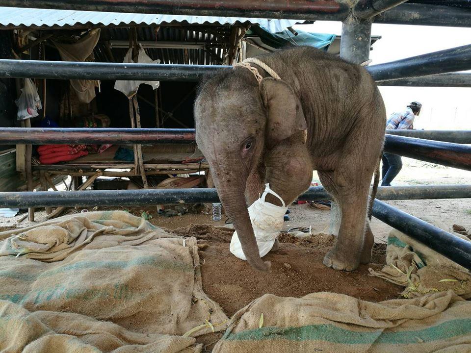 ย้ายลูกช้างป่าขาเจ็บรักษาต่อสวนนงนุช เหตุมีความพร้อมมากกว่า