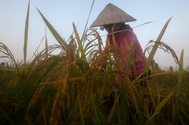 ฮานอยเปิดตัวโลโก้ข้าวเมดอินเวียดนามประทับตราของแท้ผลิตในบ้าน