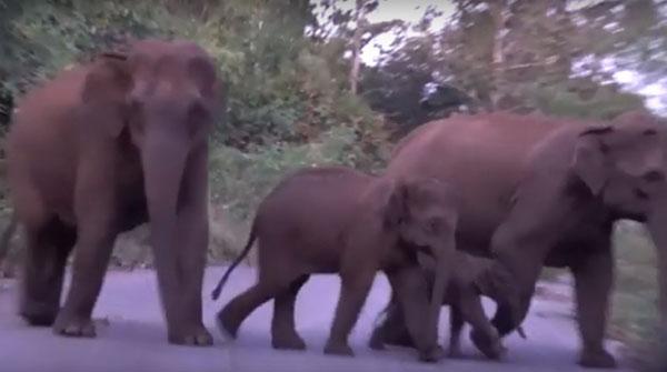 เตือนกันดังๆ ระวังช้างป่าสลักพระ ข้ามถนน แนะเจอป้ายให้ชะลอความเร็ว