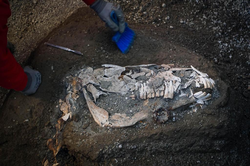 ซากม้าที่พบในชานเมืองปอมเปอี (Cesare Abbate/ANSA Via AP)